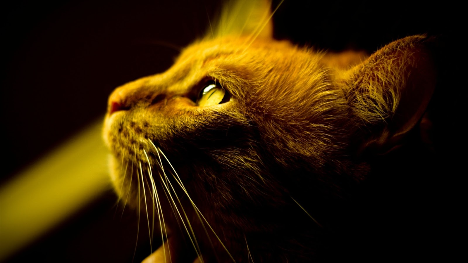Brown Cat with Yellow Eyes HDQ Wallpapers 1600x900