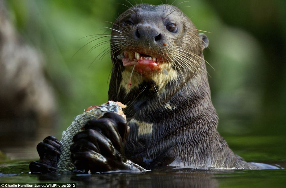 The most badass picture of an otter I've ever seen : pikdit