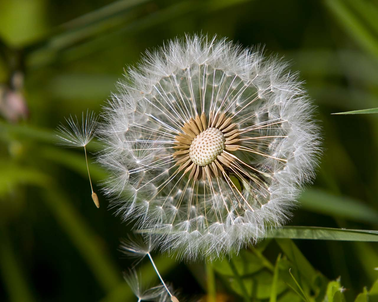 wallpapers flowers dandelion dandelion clock seeds this wallpaper 1280x1024