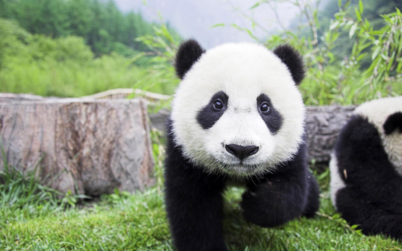 Funny panda desktop wallpaper Funny Animal 1440x900