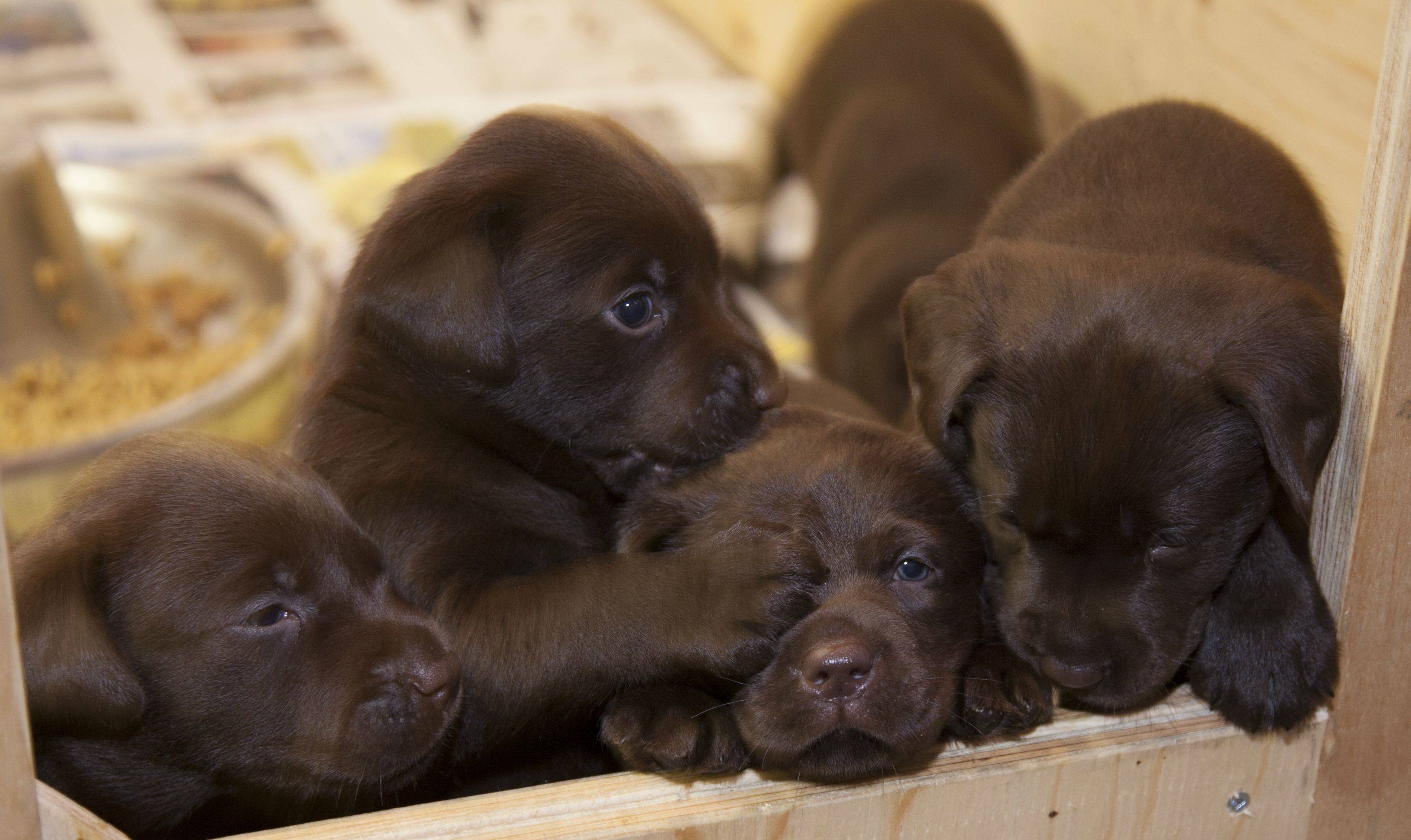 Chocolate labrador retriever puppies – Dogs in our life photo blog