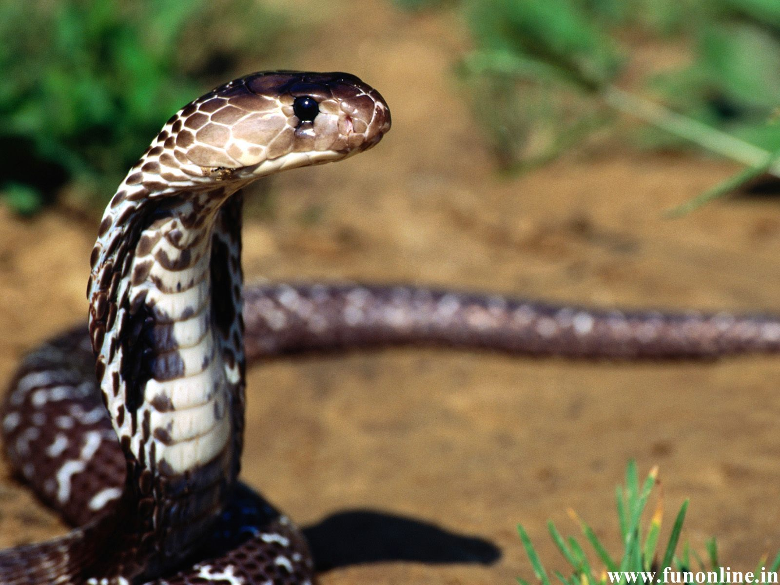 snake wallpapers download poisonous deadly snakes hd wallpapers 1600x1200