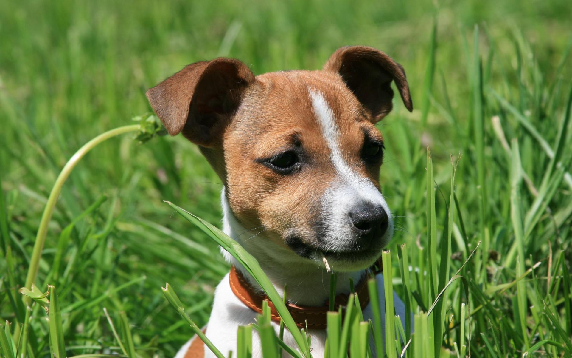 Pink Jack Russell Wallpaper - WallpaperSafari Jack Russell Terrier Wallpaper