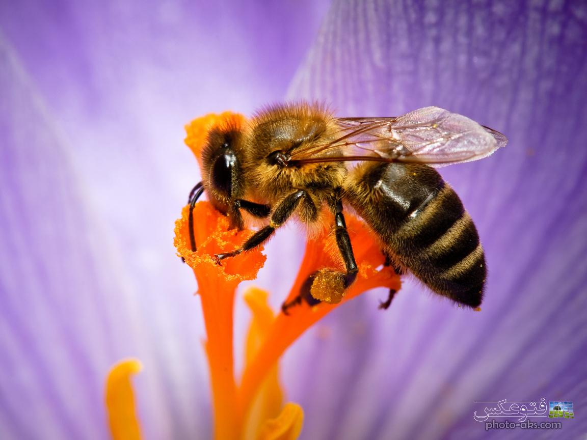 honey bee wallpaper 1152x864