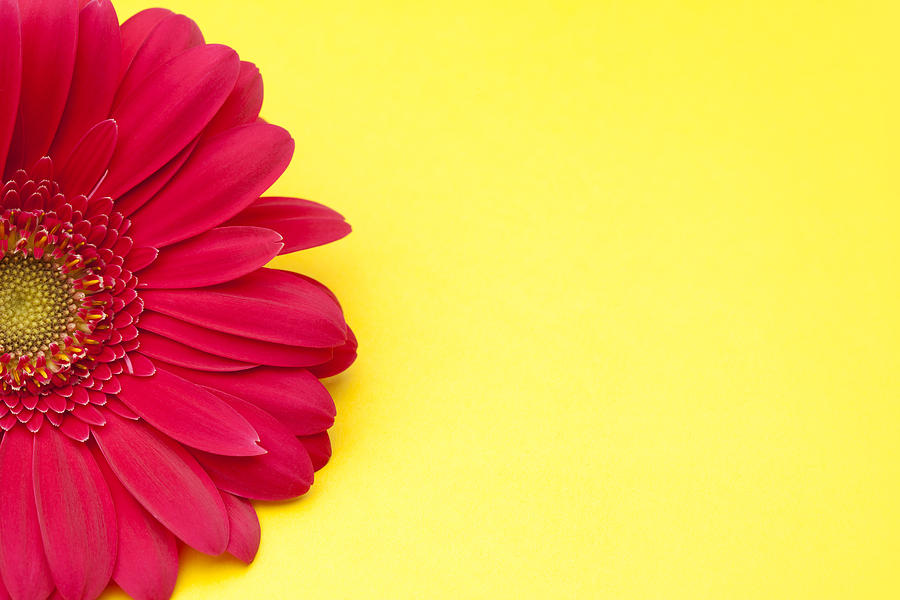 Related Pictures pink gerbera daisy wallpaper 1920x1200 900x600