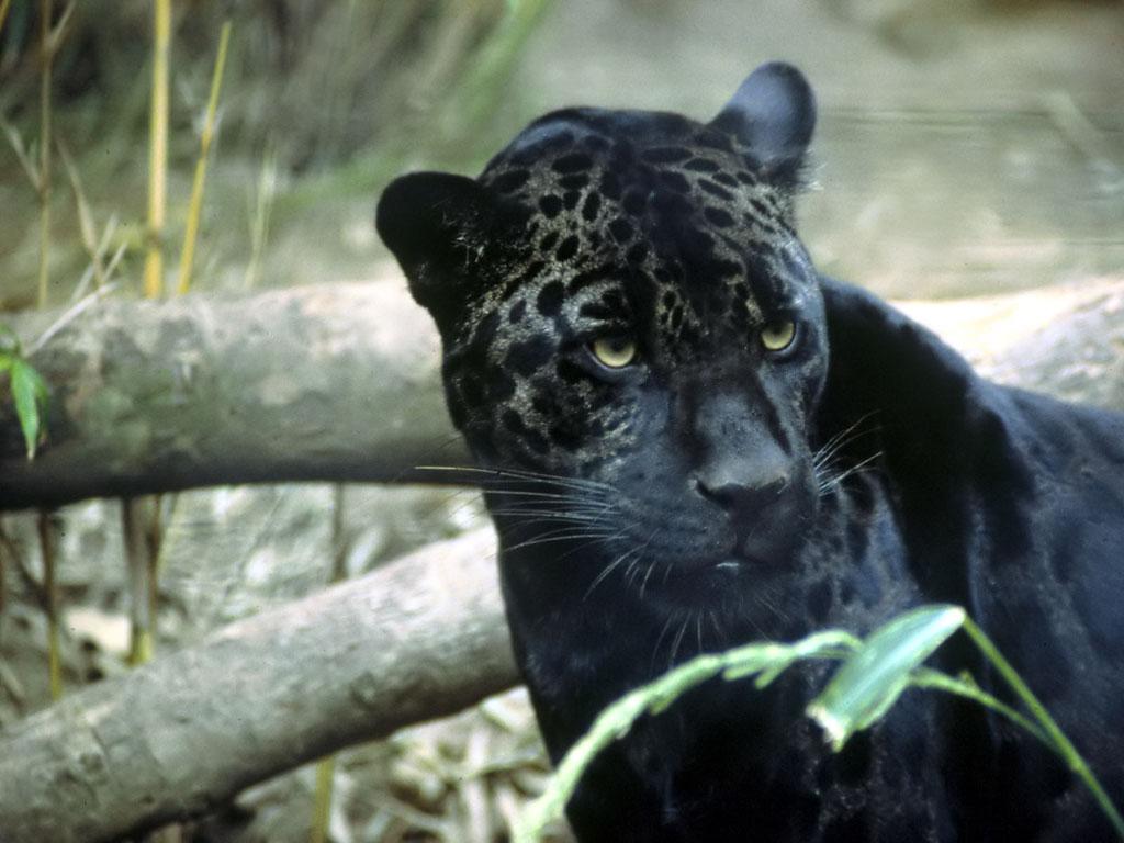 Go Back Images For Black Jaguar Wallpaper 1024x768