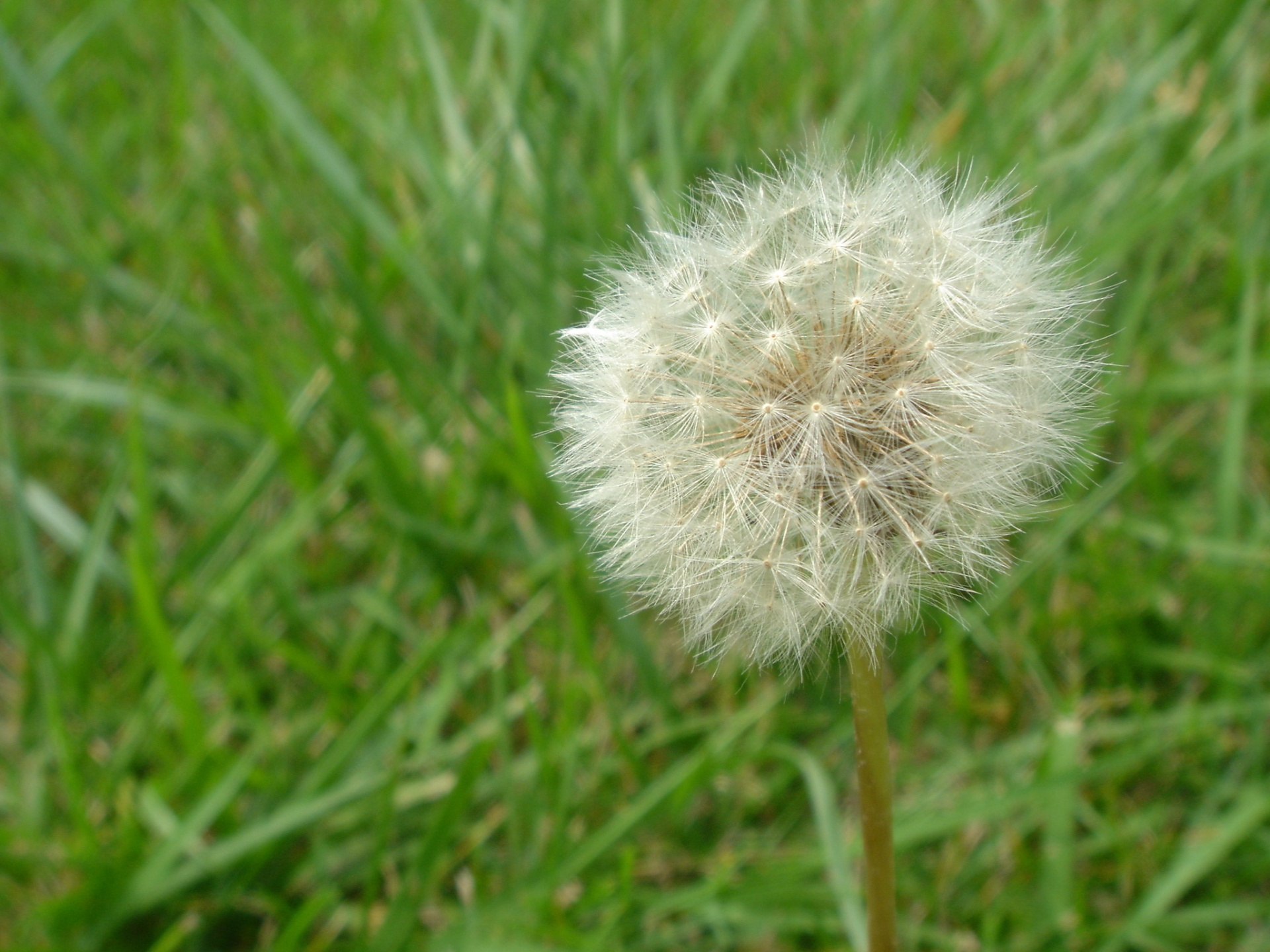1920x1440 Dandelion desktop PC and Mac wallpaper 1920x1440