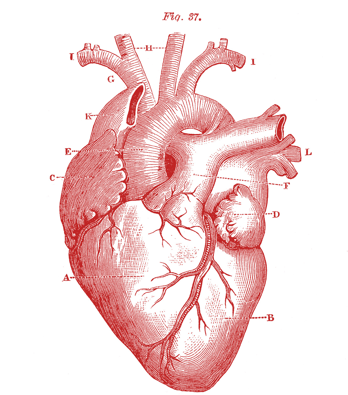 Free Download 5 Anatomical Heart Pictures The Graphics Fairy
