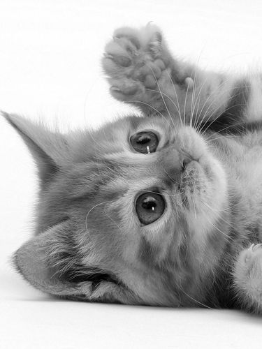 Playful Kitten screensaver for Amazon Kindle 3 375x500