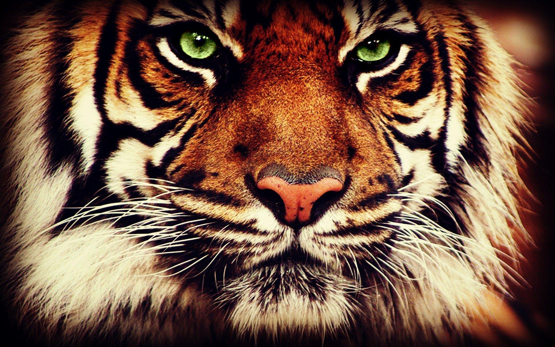Tiger Face Wallpaper -...