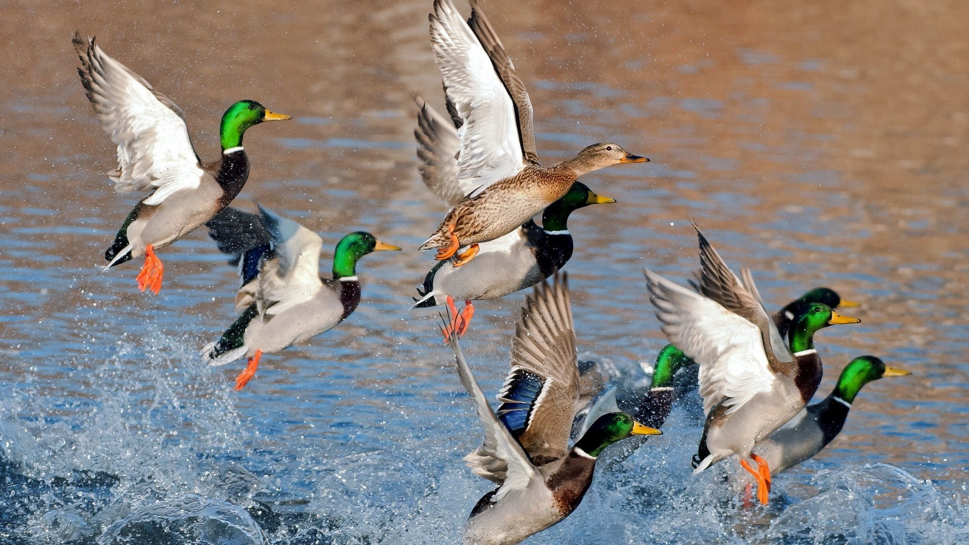 Ducks Flying Over Water 1920 x 1080 Download Close 1920x1080