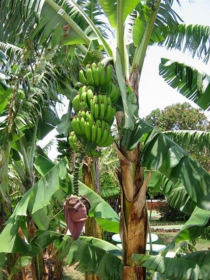 Banana Tree Pictures Banana tree 412x550