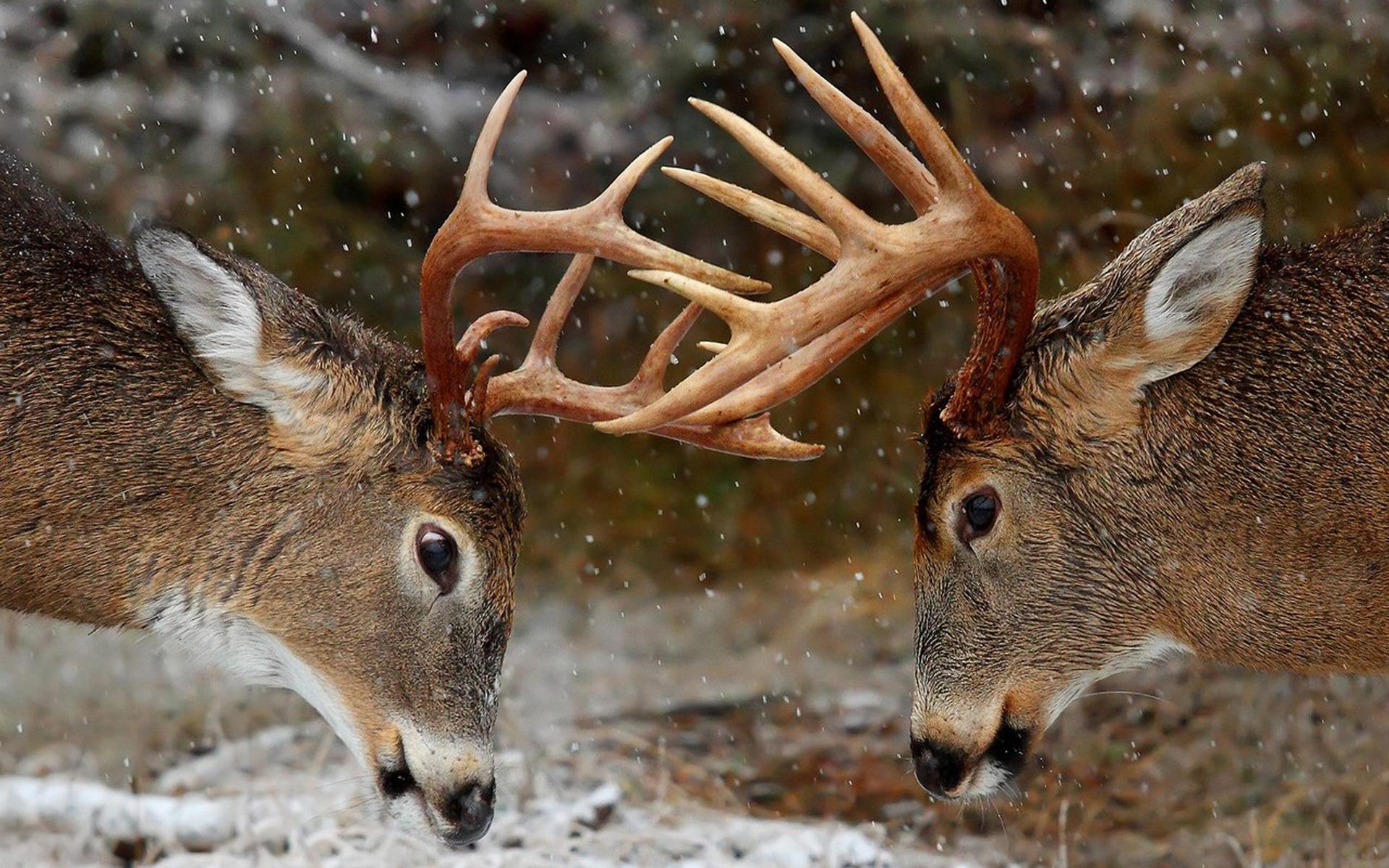 Deer Wallpapers For Desktop