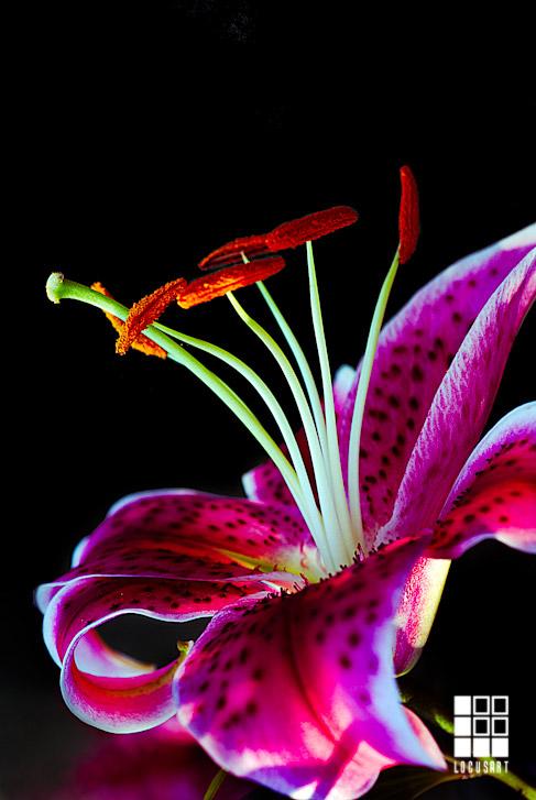 Tiger Lily 487x727