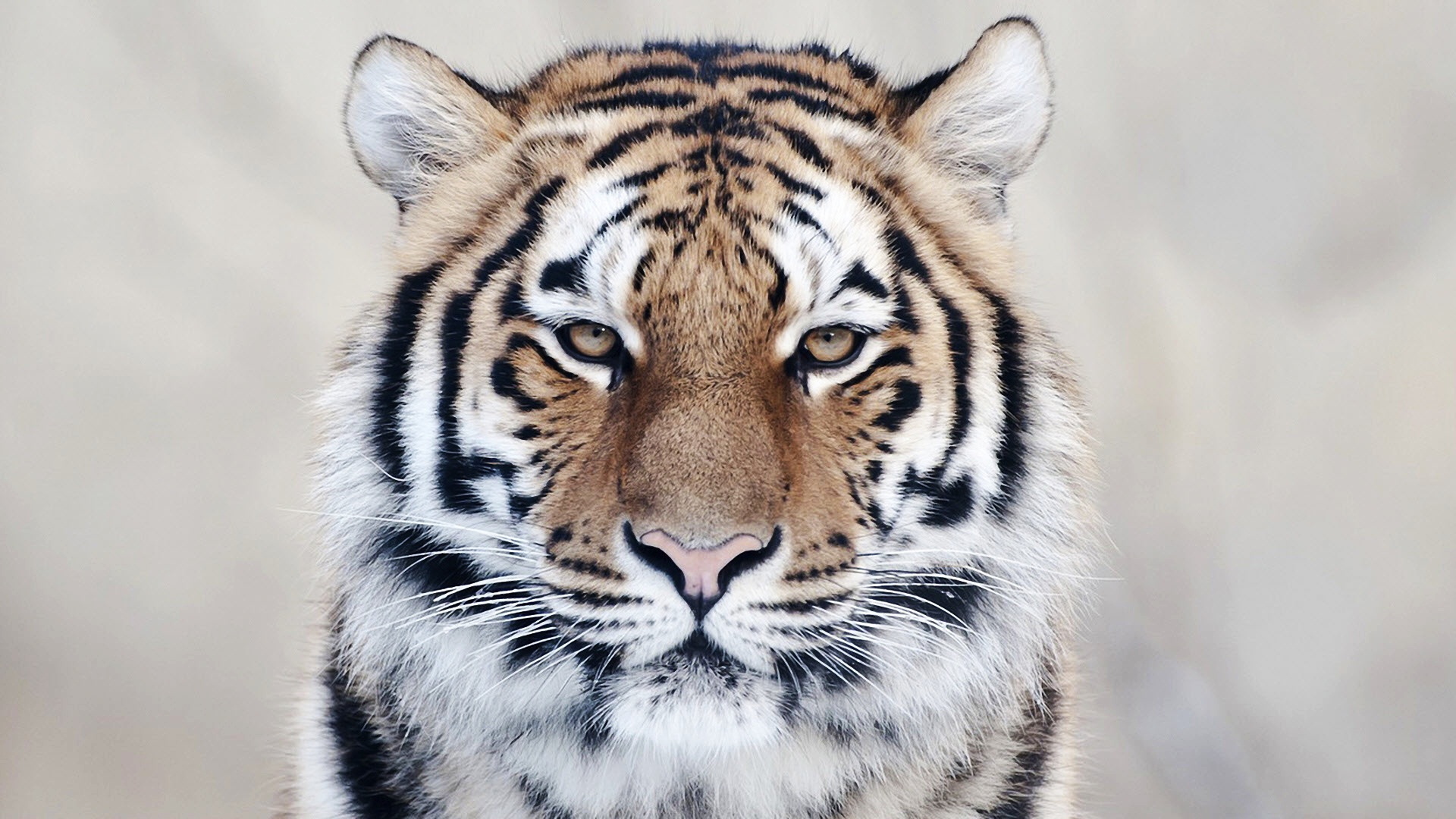 Tiger Close Up Wallpapers HD Wallpapers 1920x1080