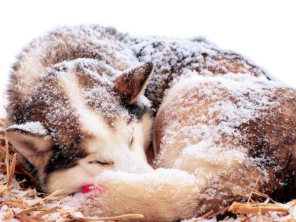 ... dogs husky 1024x768 wallpaper – Snow Wallpaper – Desktop Wallpaper