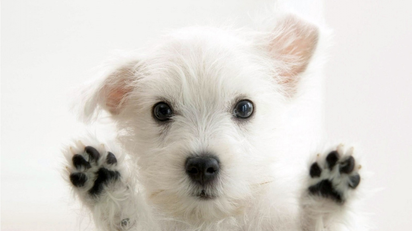 Cute white funny dog wallpaper ImgStockscom 1366x768