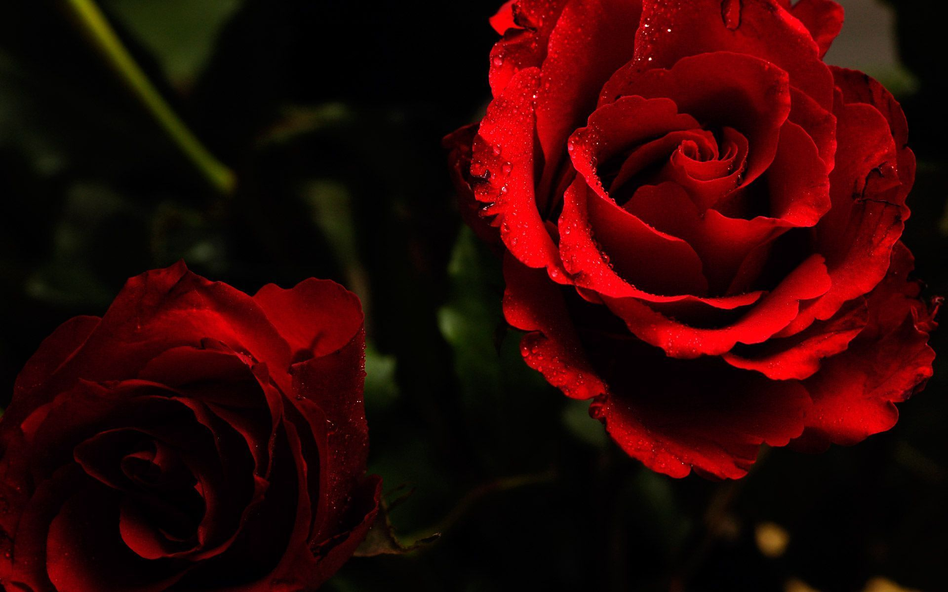 Roses Desktop Wallpaper Roses Images Download New 1920x1200