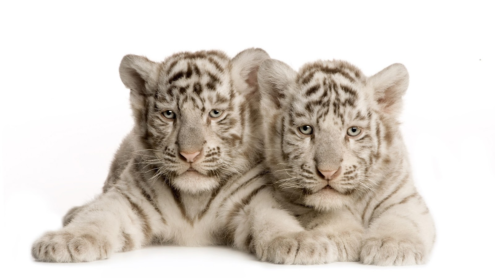 White Tiger Cubs In Snow Wallpaper Tigers Wallpapers And Pictures 47 1600x900