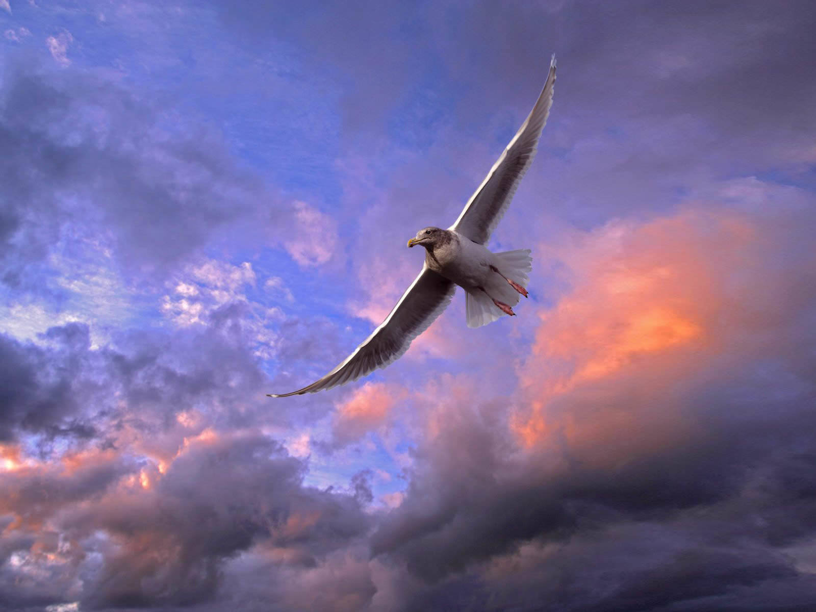 wallpapersanimal wallpapersbird wallpaperswonderful flying bird 1600x1200