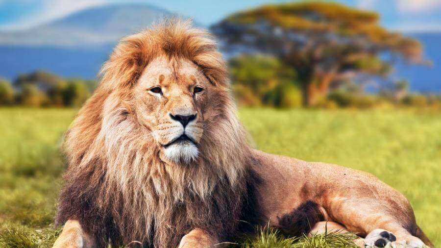 wallpaper details name african lion safari close up 4k wallpapers 900x506