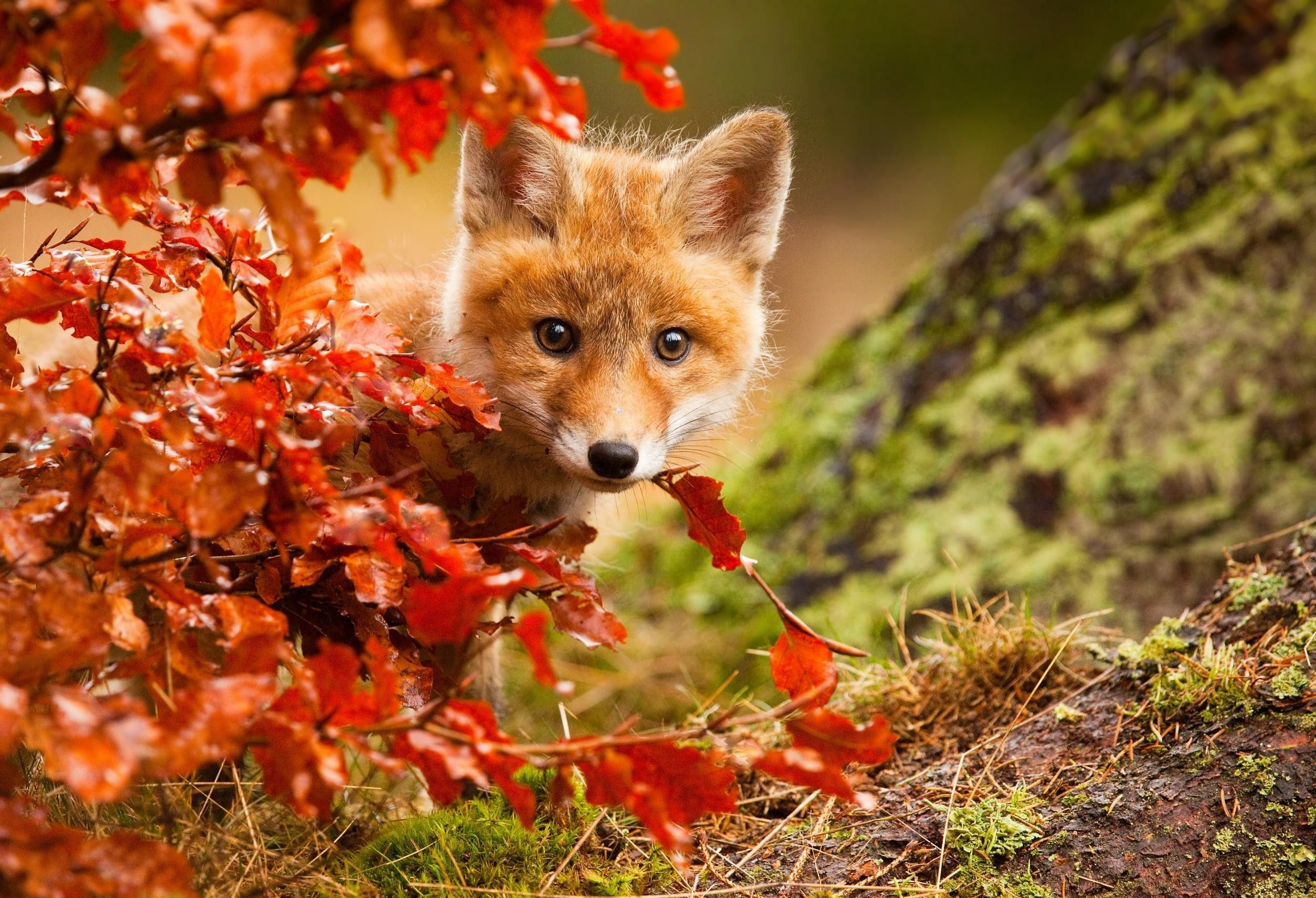 Autumn Animals Wallpapers   Top Autumn Animals Backgrounds 2500x1706