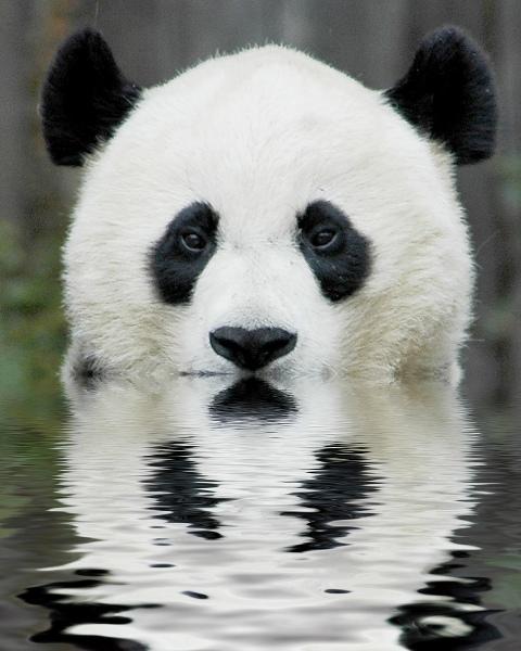 panda bear 480x600