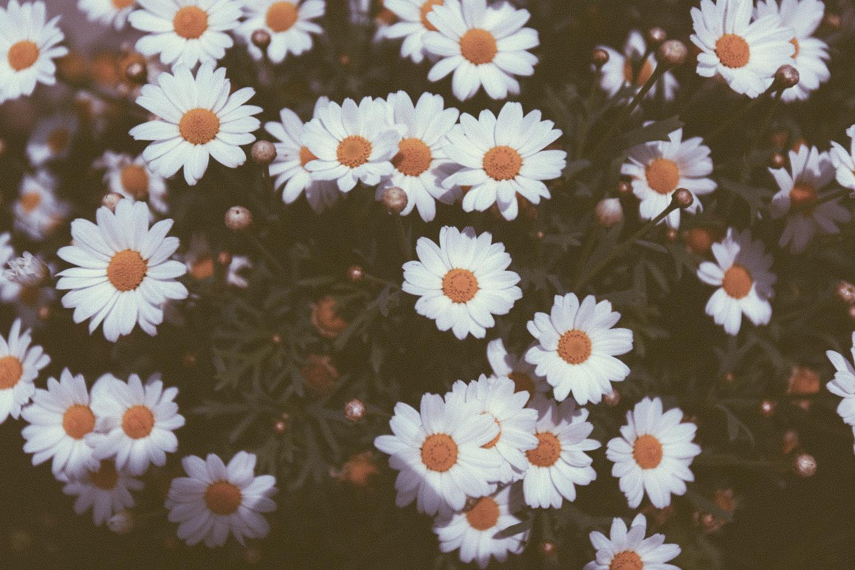 Vintage Daisies Tumblr Vintage daisies tumblr 1440x960