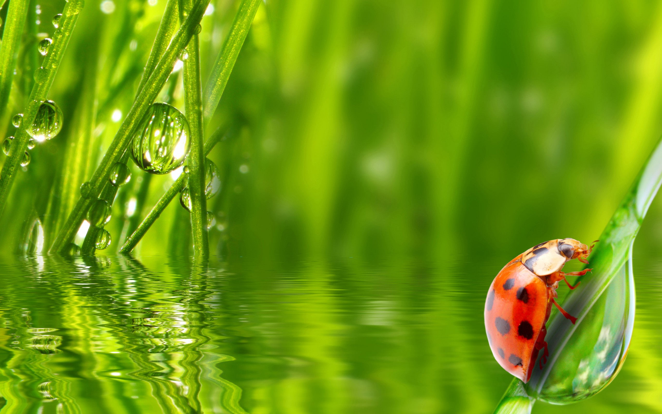ladybug insect grass water dew morning drop wallpaper background 2560x1600