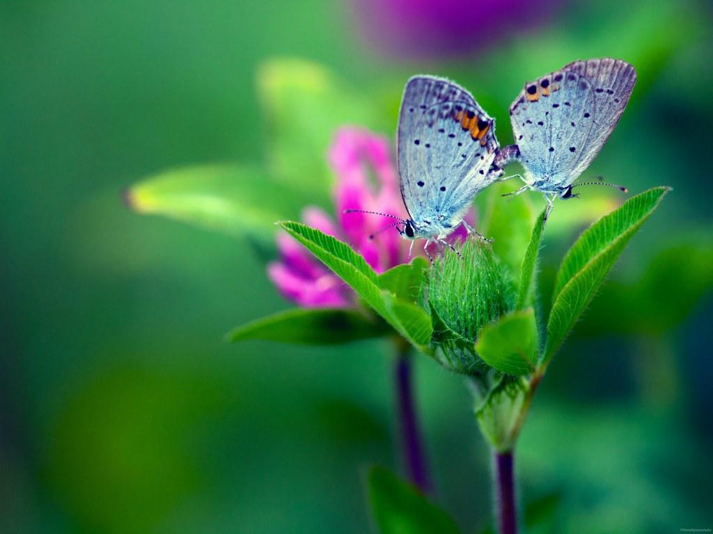 Butterfly Flower wallpaper Desktop iPhone Tablet 1024x768