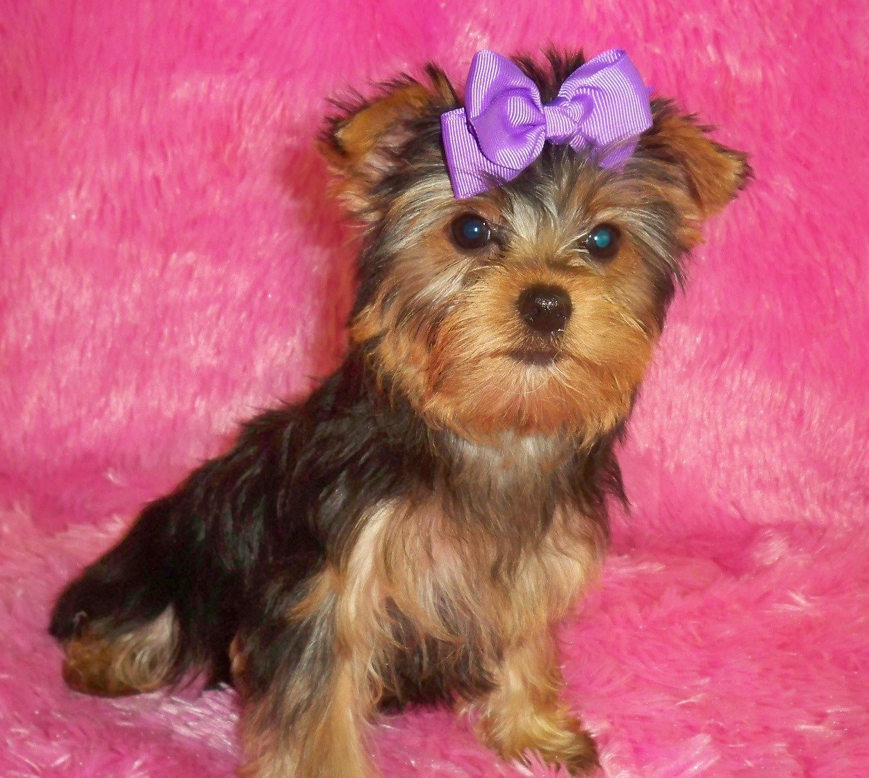 1024x768 wallpaper of yorkies - photo #29