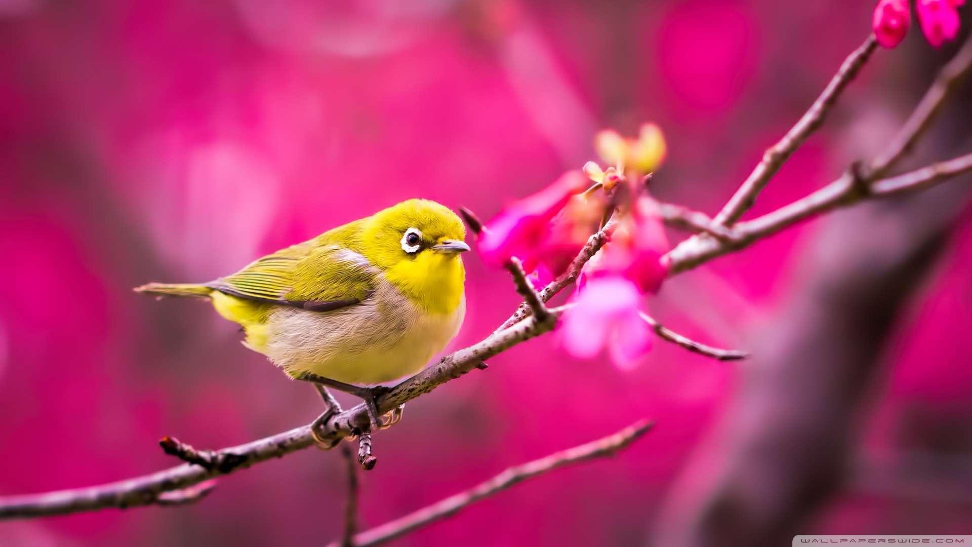 Wallpaper Yellow Bird Springtime Wallpaper 1080p HD Upload at 1920x1080