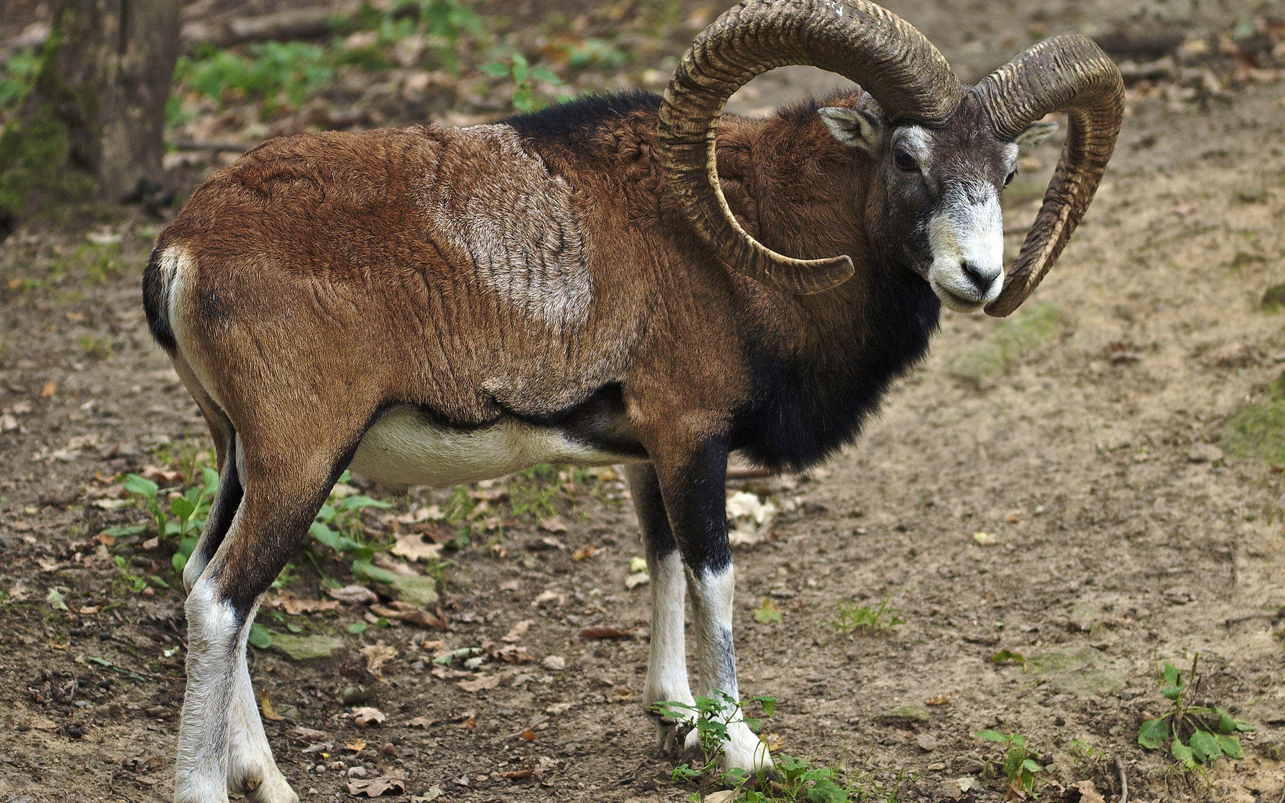 Best 58 Mouflon Wallpaper on HipWallpaper Mouflon Wallpaper 2560x1600