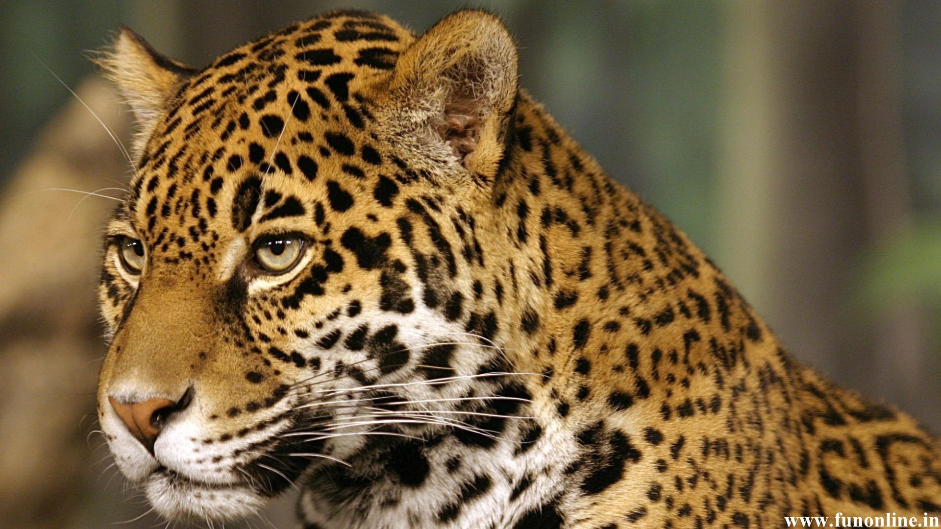 Jaguar Wallpapers Stunning Jaguar HD Wallpapers for Download