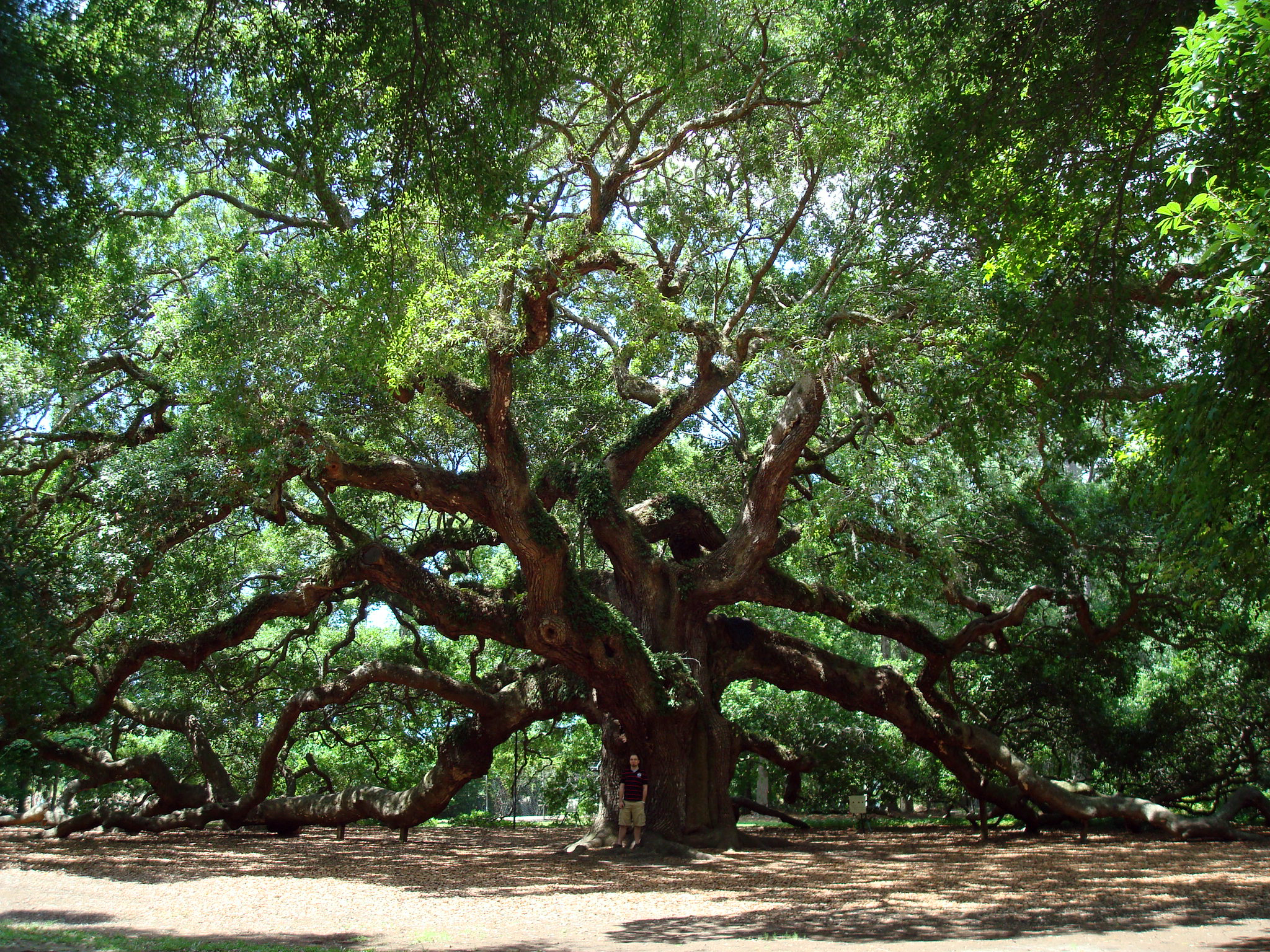 Angel Oak Tree Computer Wallpapers Desktop Backgrounds 2048x1536 2048x1536