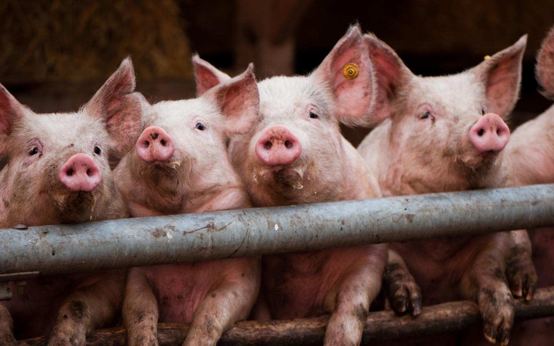 Download Pigs Wallpaper Pig Kitten 1440x900