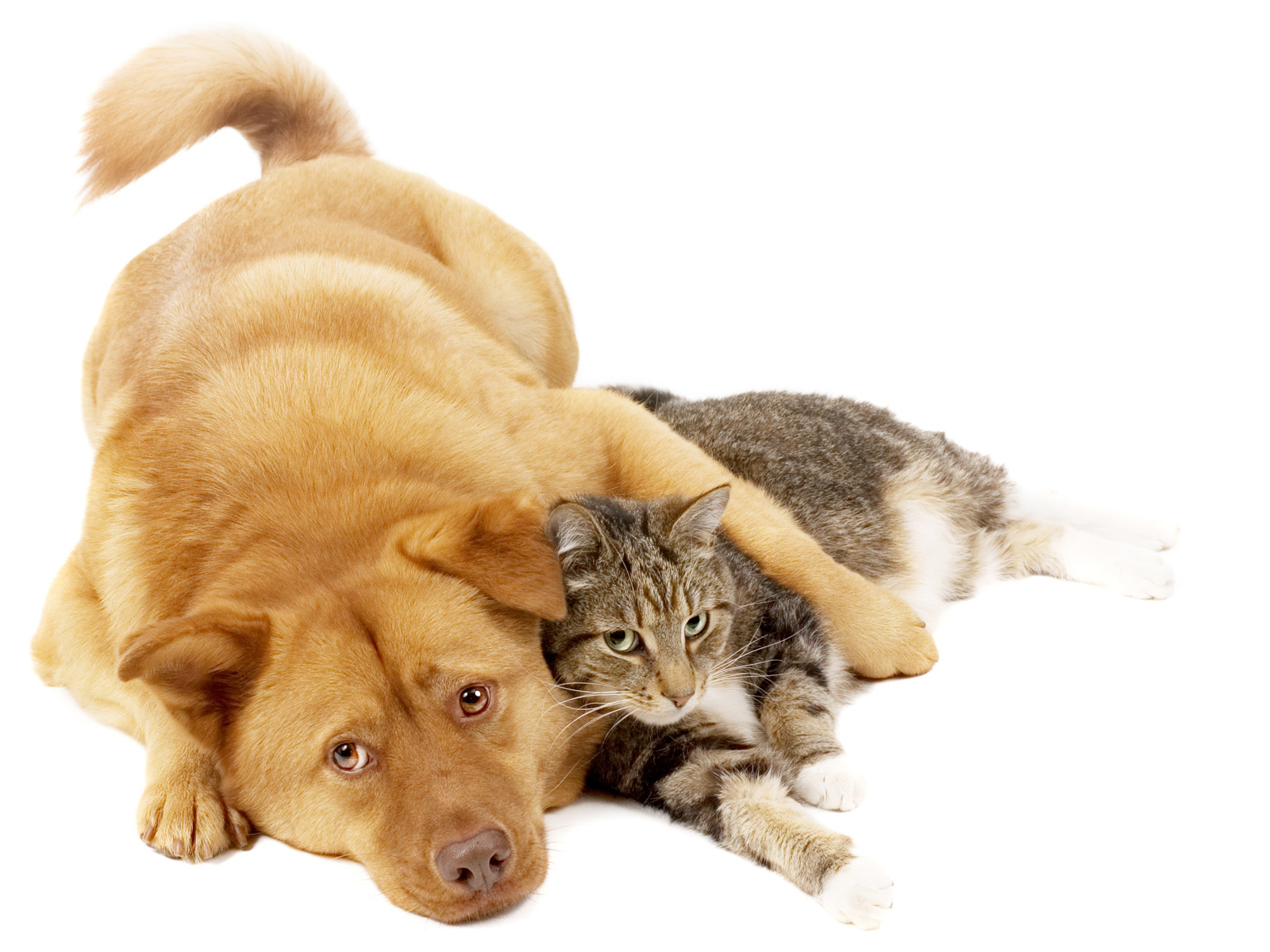 Dog And Cat On White Background computer desktop wallpaper 1600x1200