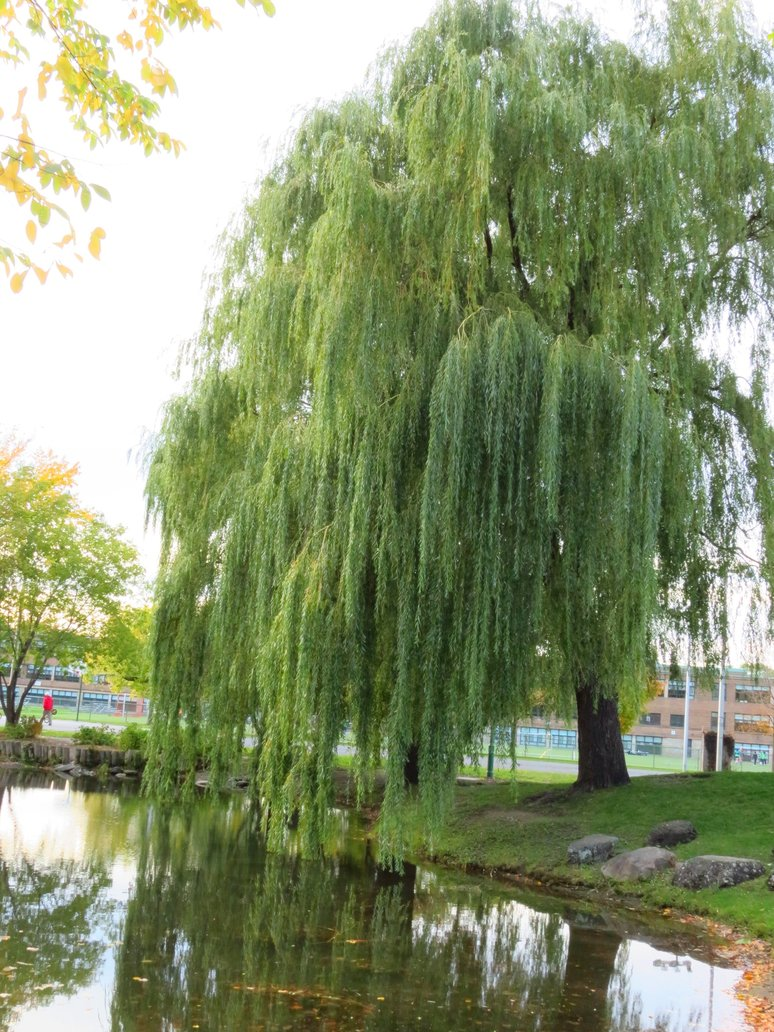 Weeping Willow Tree Wallpaper Weeping willow by kitteh pawz 774x1032