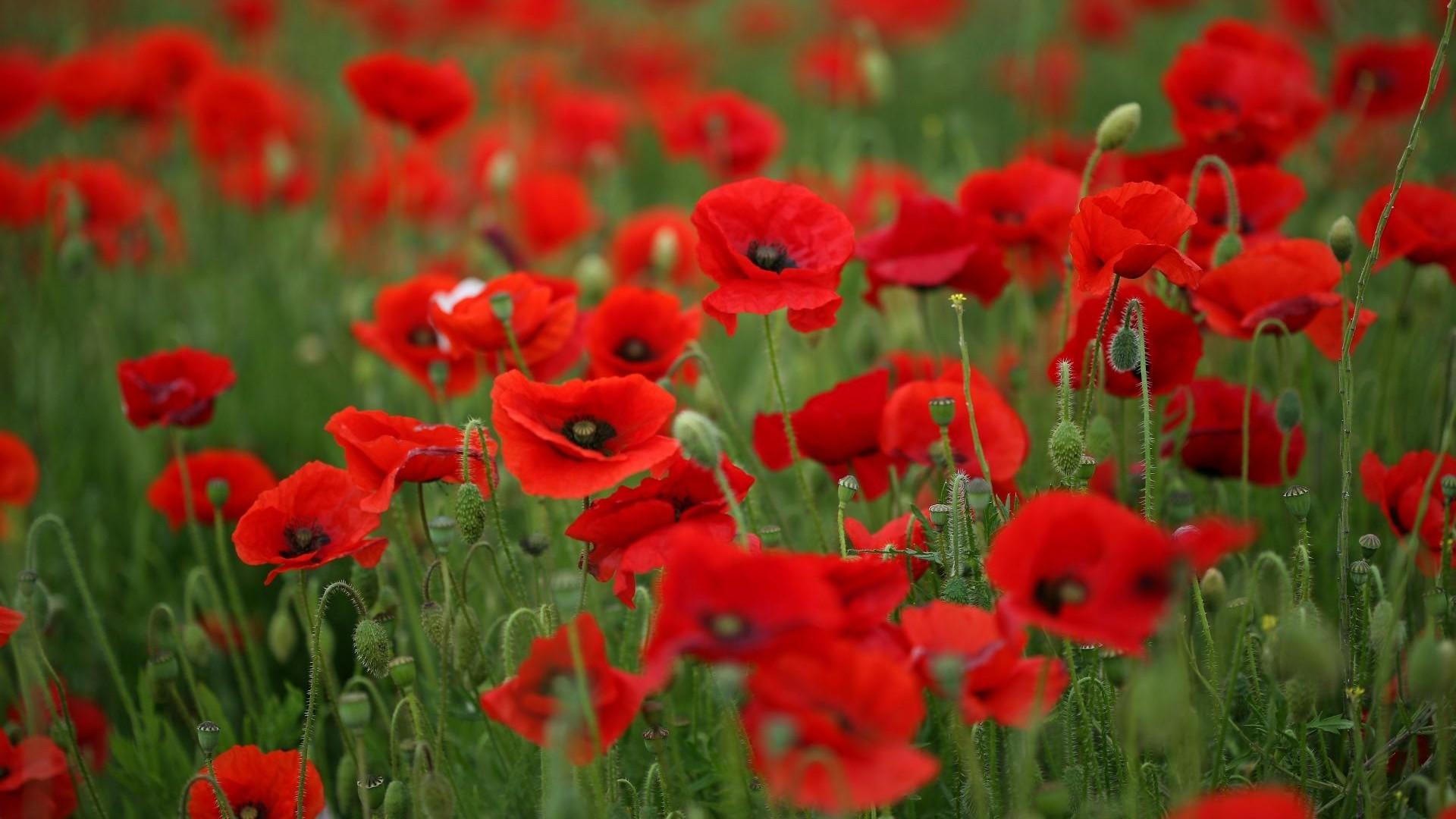 Field of Poppies wallpaper 1920x1080