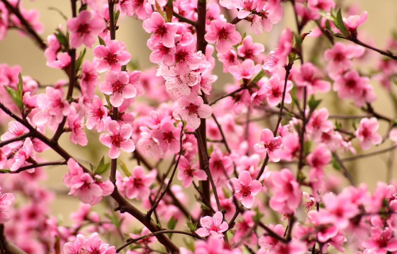 Wallpaper flowers branches bright spring Sakura pink 1332x850
