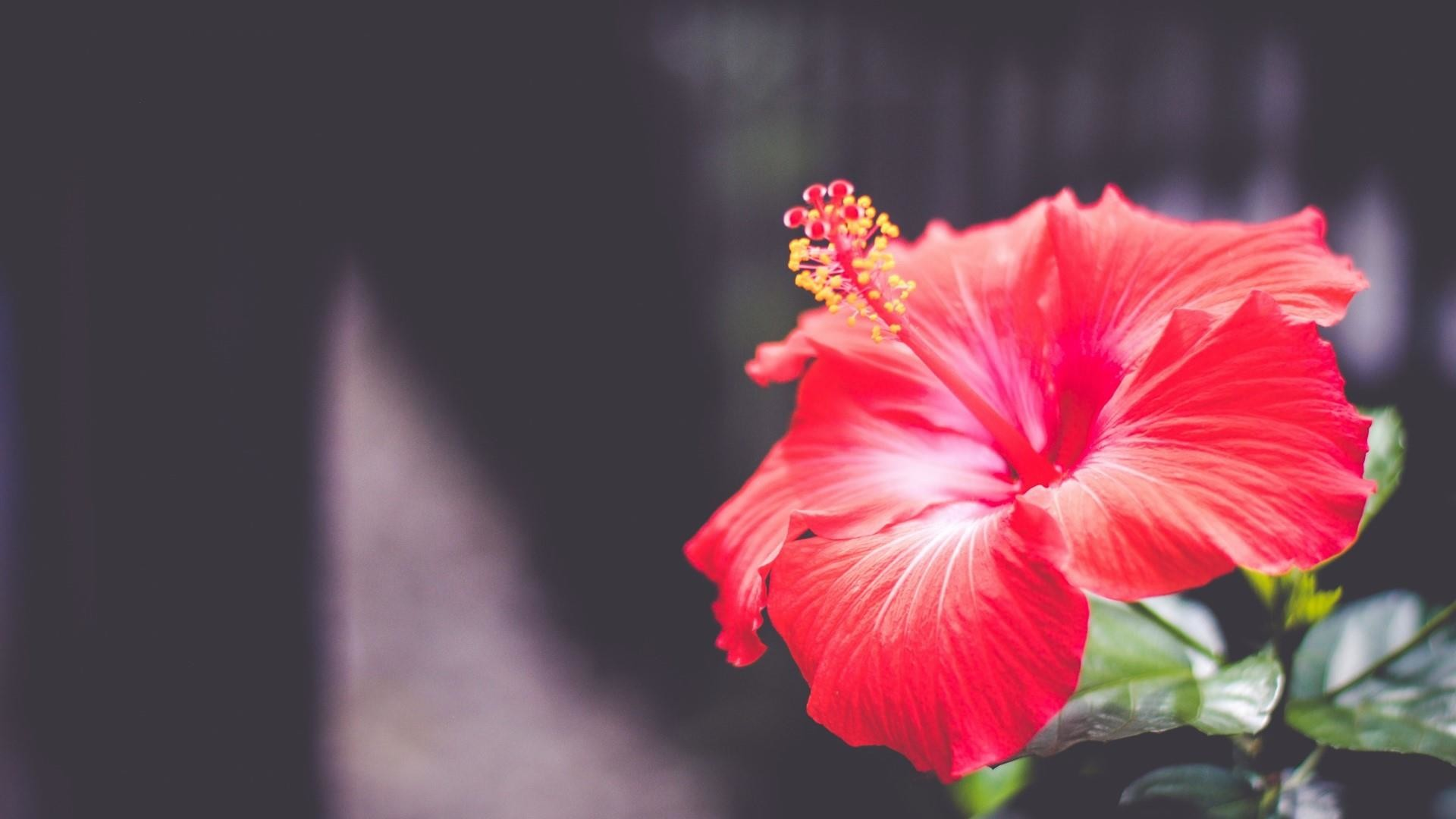 57 Hibiscus Wallpapers on WallpaperPlay 1920x1080