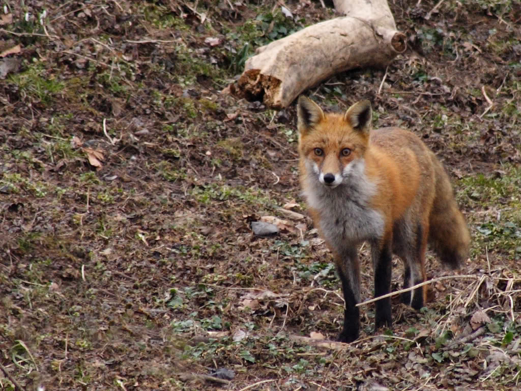 Red fox desktop wallpaper wallpapersafari - Fox desktop background ...