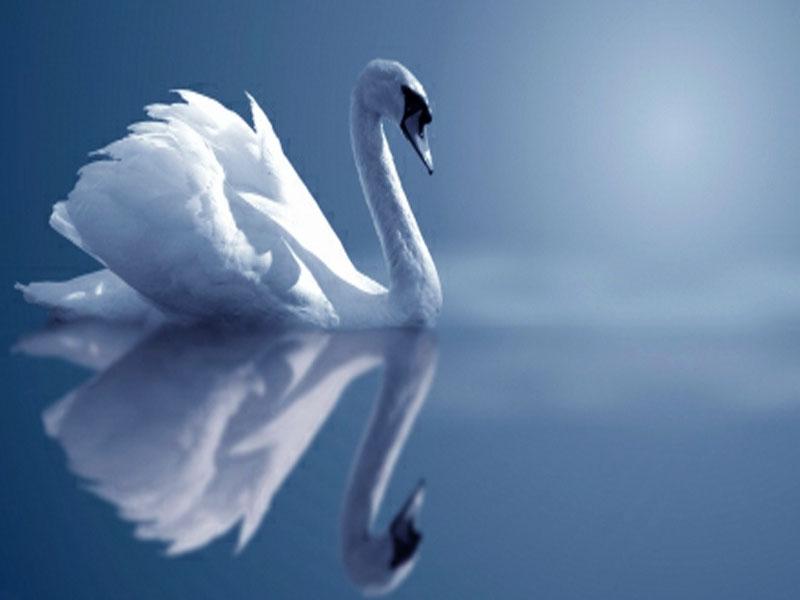 Swan Reflection PC Wallpaper HD Wallpaper 800x600