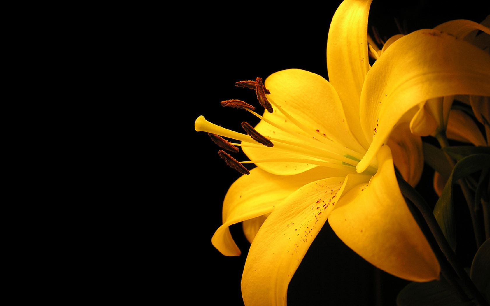 Yellow Tiger Lily 1680x1050