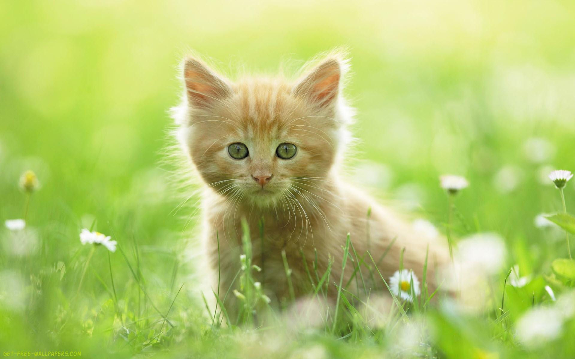 Download Cute Kitten Cate Wallpaper 1920x1200