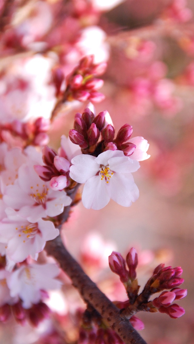 Cherry Blossoms Iphone Wallpaper Wallpapersafari