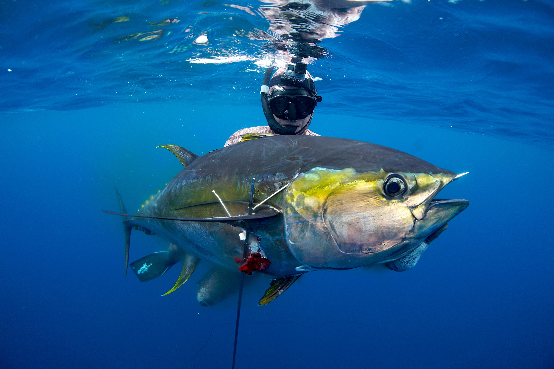 Spearfishing Panama infospearfishingpanamacom. ← Tuna Wallpapers