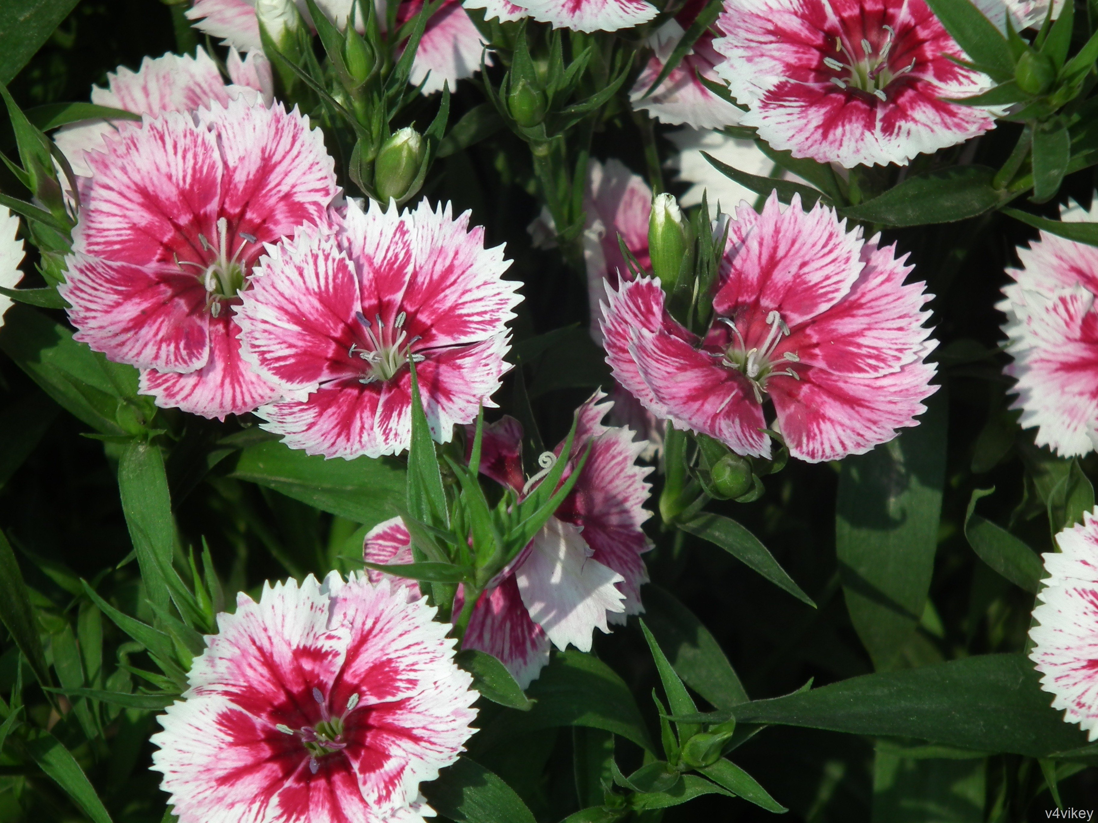 Arctic Fire Dianthus Flowers Wallpaper Tadka 3648x2736