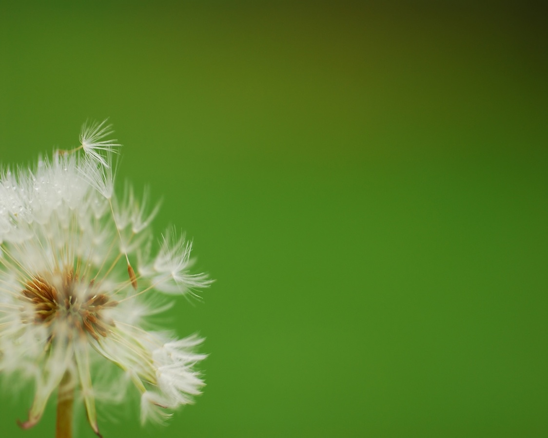 Dandelion Blown By The Wind Background   Cool Backgrounds Walls 1124x899