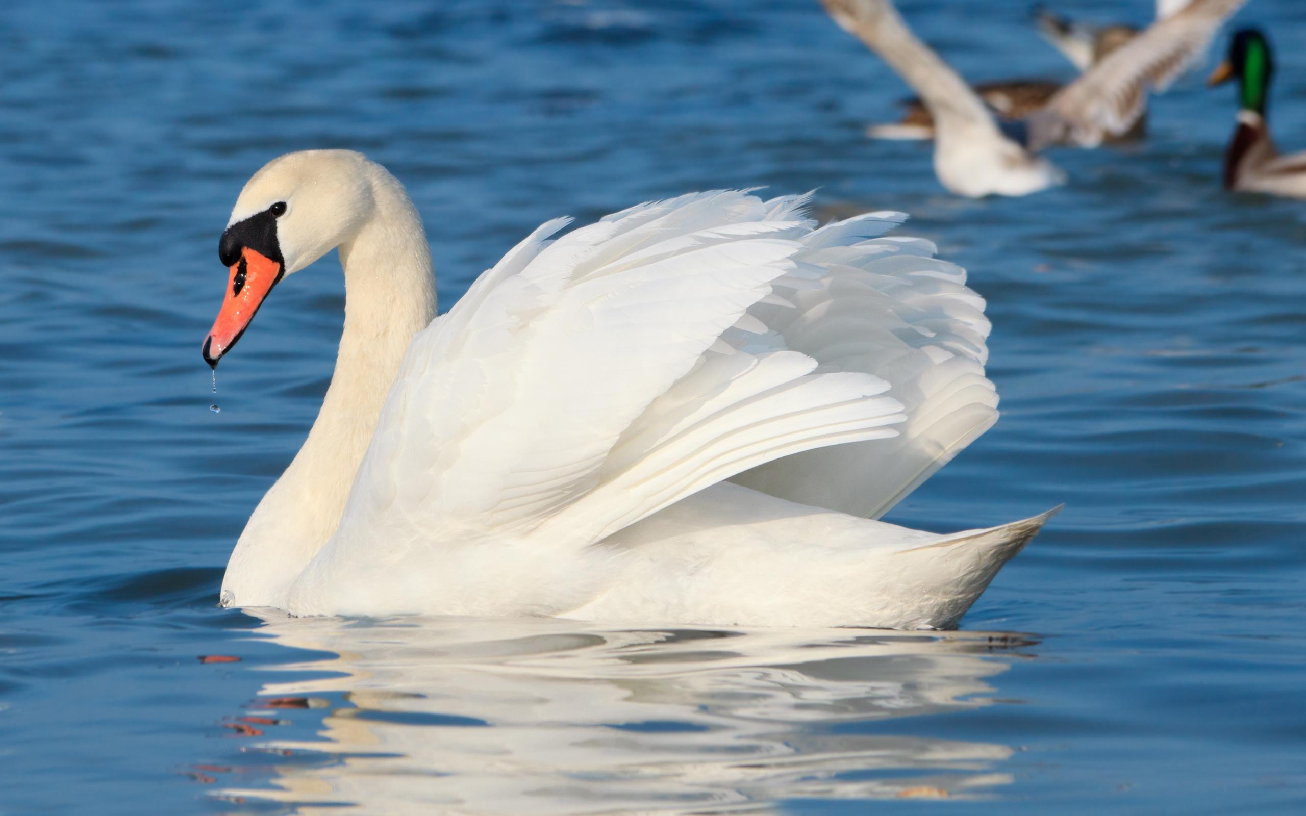 Animal   Mute Swan Wallpaper 2560x1600